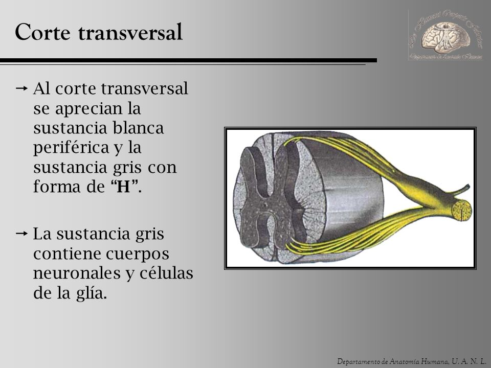 Médula espinal. - ppt video online descargar