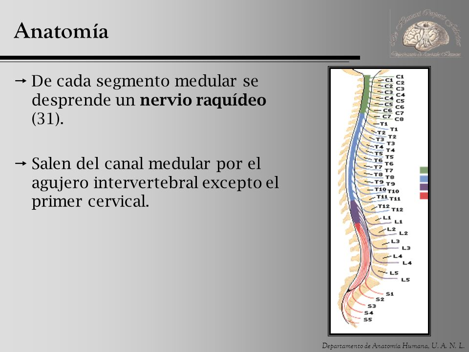 Médula espinal. - ppt video online descargar