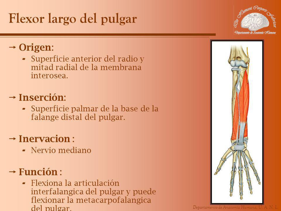 Flexor largo del pulgar