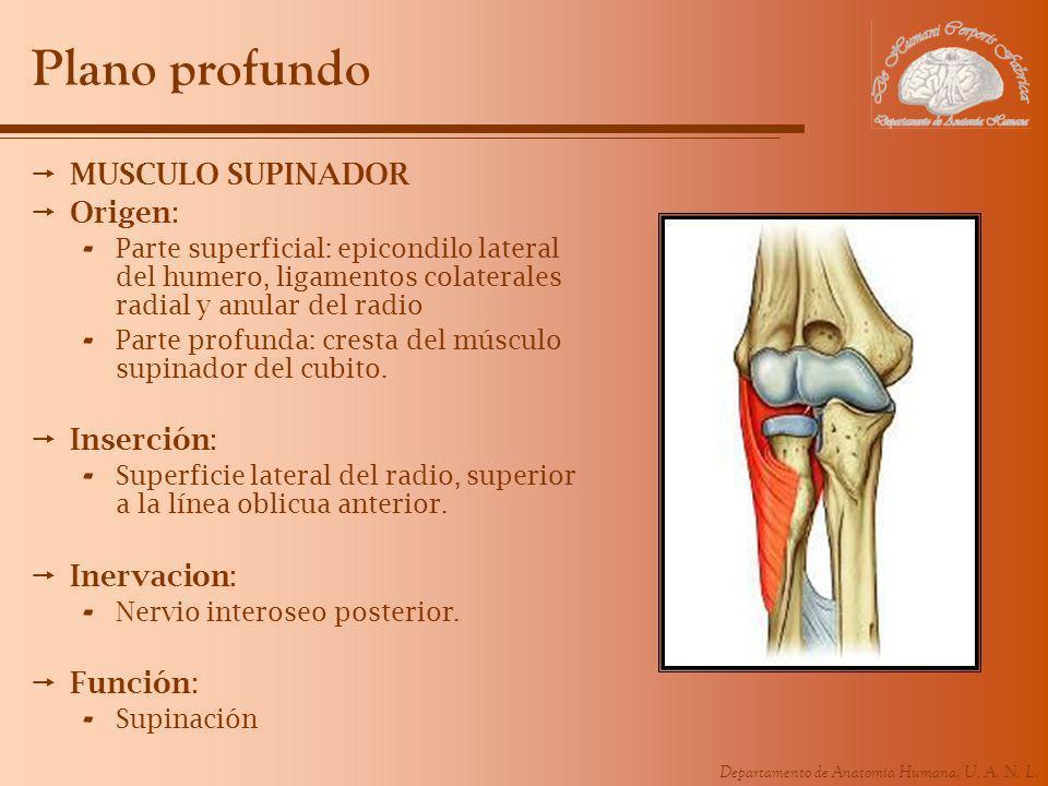 Dorable Anterior Anatomía Del Nervio Interóseo Ilustración ...