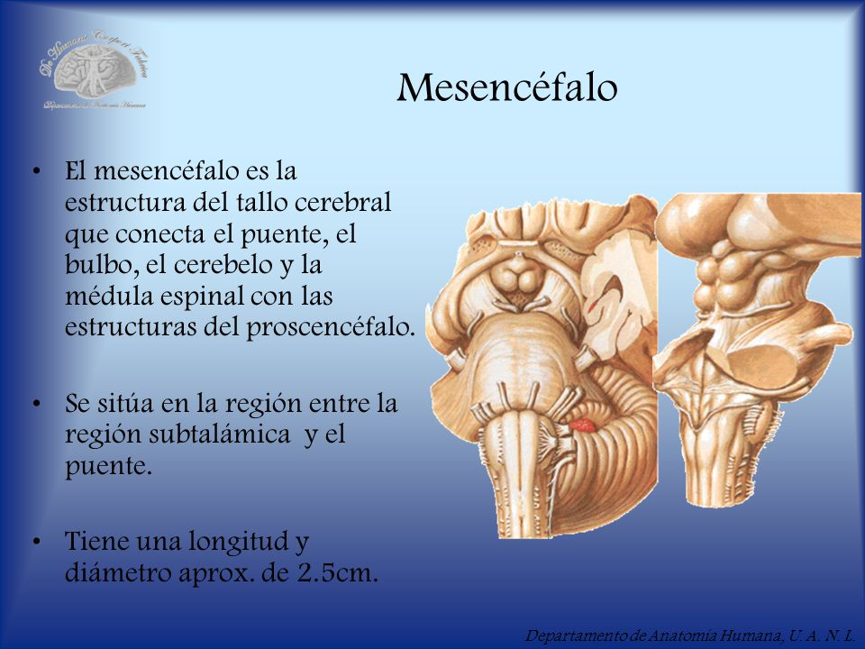 Módulo X Mesencéfalo ( ). - ppt video online descargar