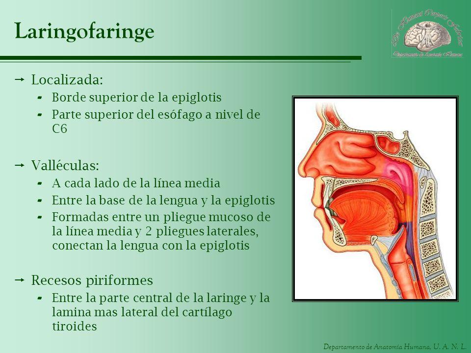Vistoso Laringofaringe Molde - Anatomía de Las Imágenesdel Cuerpo ...
