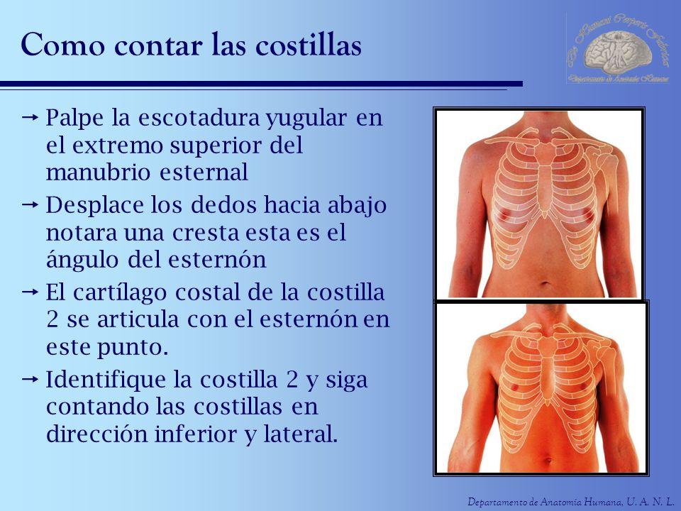 Increíble Anatomía De Costillas Y El Esternón Elaboración - Anatomía ...