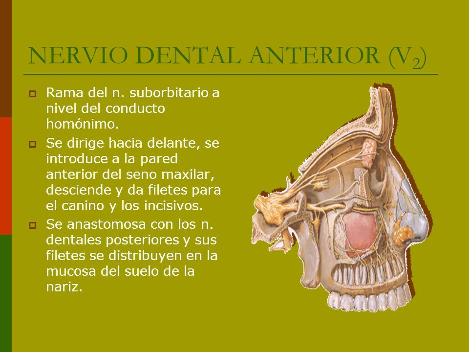 NERVIO DENTAL ANTERIOR (V2)