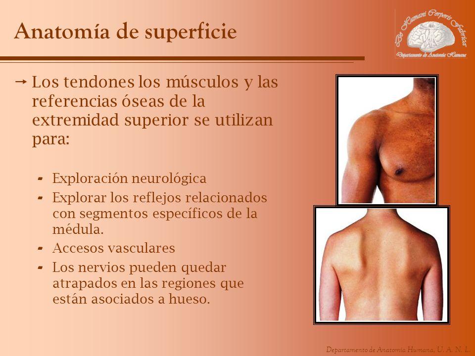 Moderno Anatomía De Superficie Del Miembro Superior Ornamento ...
