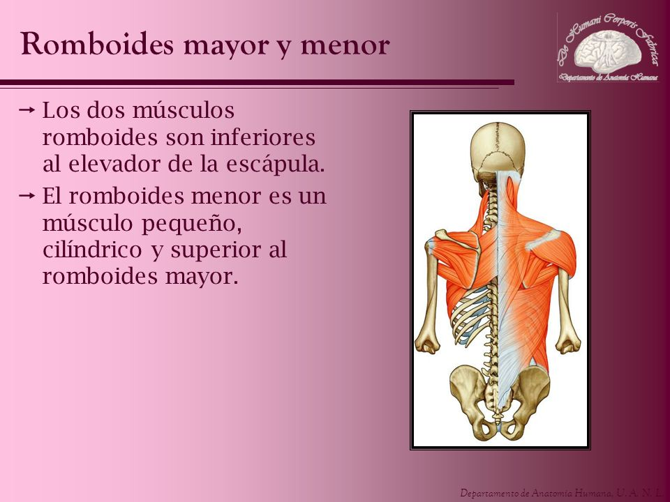 Romboides mayor y menor