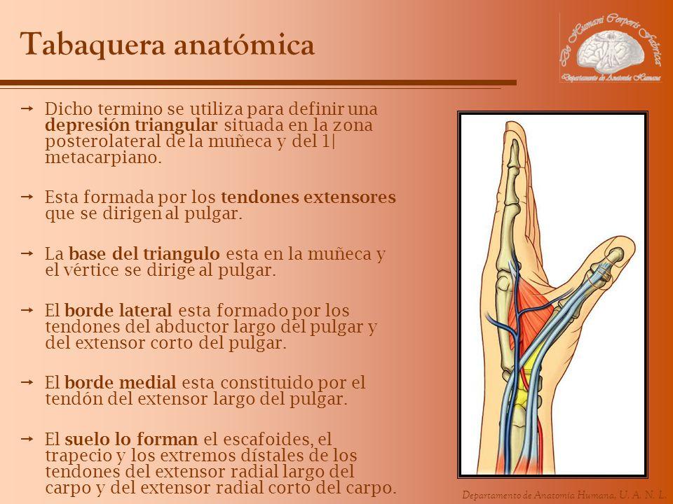 Lujoso Pulgar Anatomía De La Muñeca Imagen - Imágenes de Anatomía ...