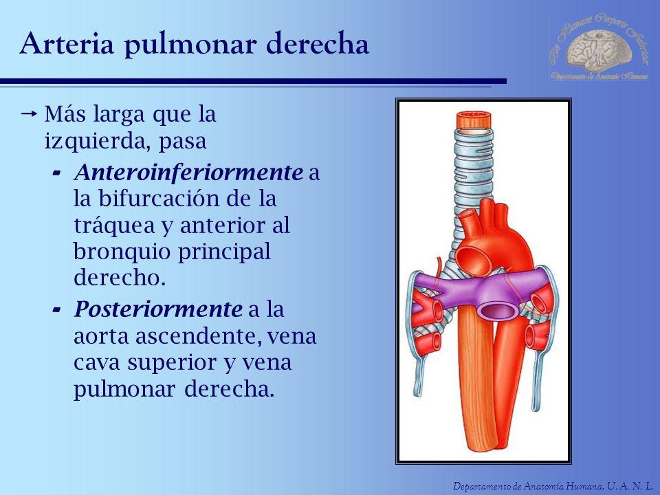 Vistoso Pulmonar Ramas De La Arteria Anatomía Galería - Anatomía de ...