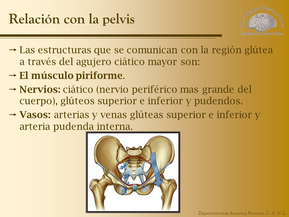 Hermosa Nervio Más Grande En El Cuerpo Humano Inspiración - Anatomía ...