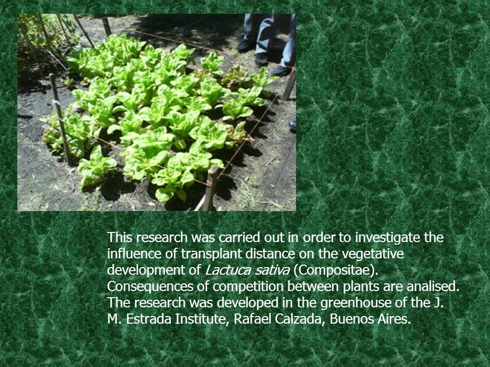 This research was carried out in order to investigate the influence of transplant distance on the vegetative development of Lactuca sativa (Compositae).