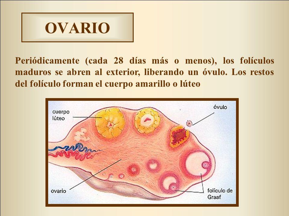 Asombroso Ovarios Anatomía Femenina Patrón - Imágenes de Anatomía ...