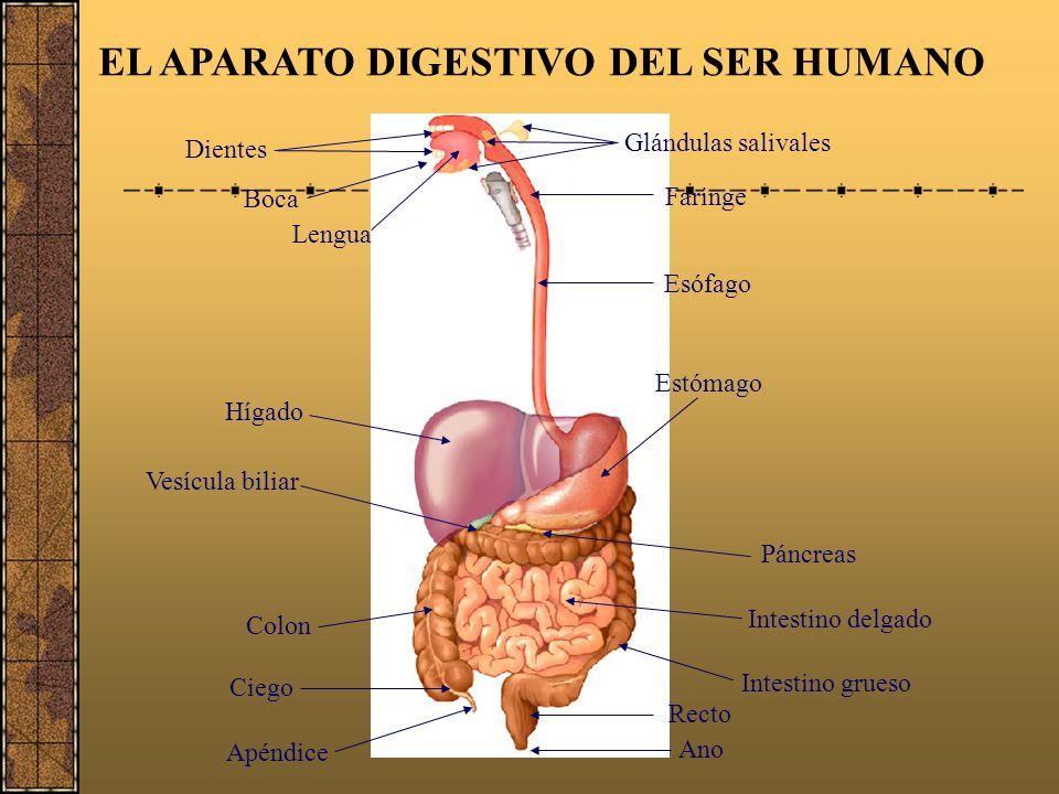 El aparato digestivo. - ppt descargar