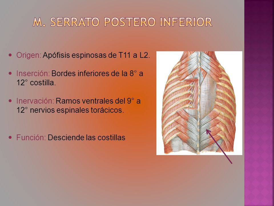 M. Serrato postero inferior