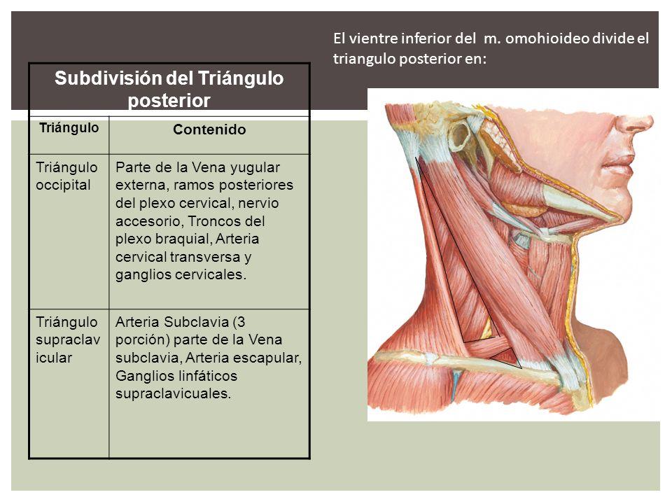 Dorable Cuello Triángulo De La Anatomía Friso - Imágenes de Anatomía ...