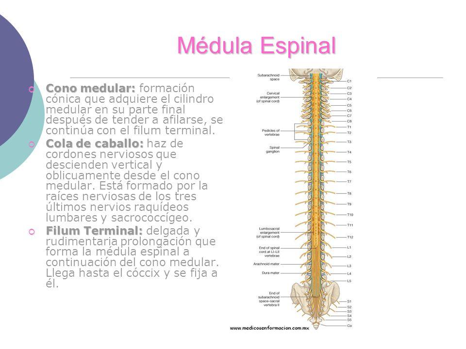 Excelente Las Raíces Nerviosas De La Médula Anatomía Cresta ...