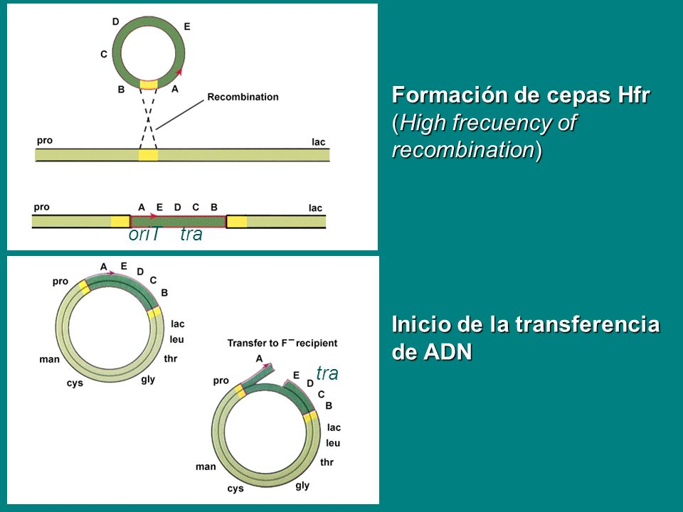 Formación de cepas Hfr (High frecuency of recombination)