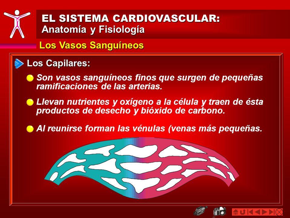 Contemporáneo Vasos Sanguíneos Anatomía Y Fisiología Colección ...