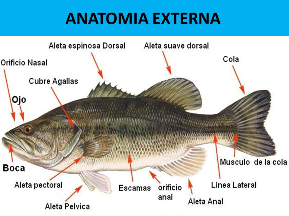 BIOLOGIA DE PECES. - ppt video online descargar