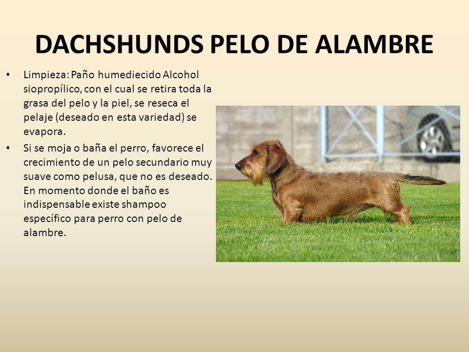 TECKEL RAZAS CANINAS GRUPO IV Ricardo Rueda Céspedes - ppt descargar