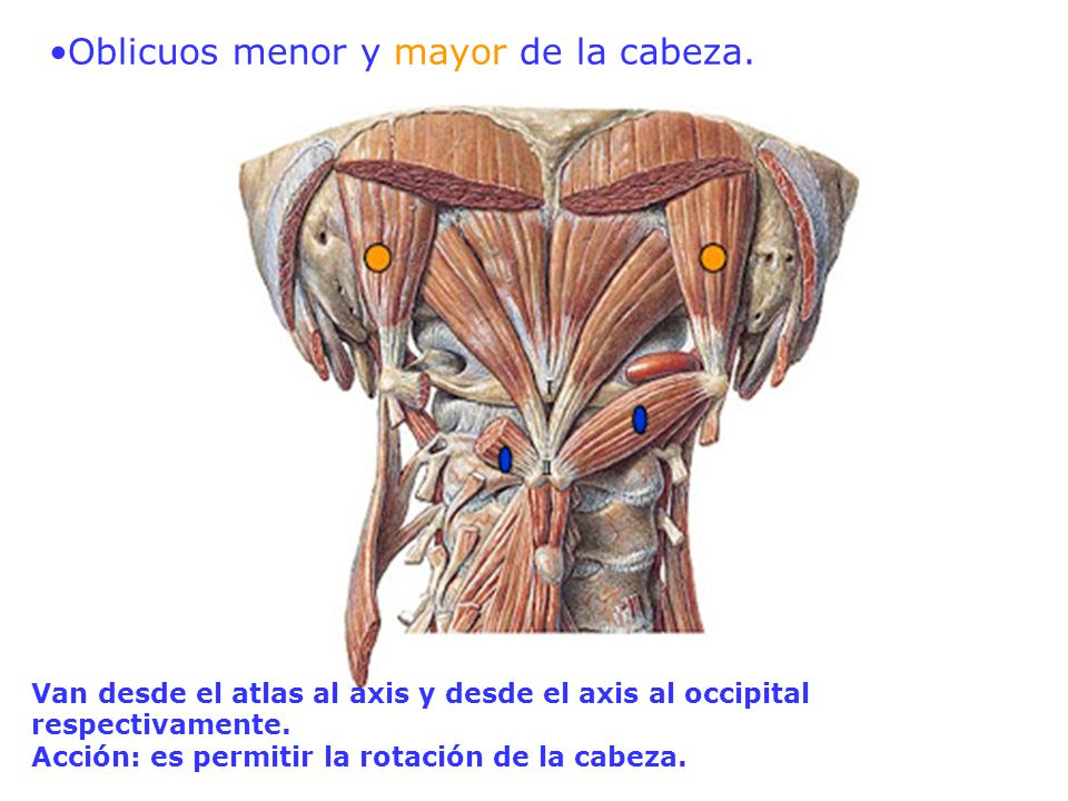 Asombroso Menor órganos Anatomía Back Adorno - Anatomía de Las ...