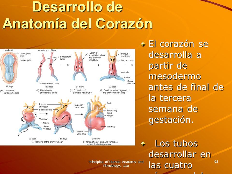 CAPITULO 20 El sistema cardiovascular: EL CORAZON - ppt descargar