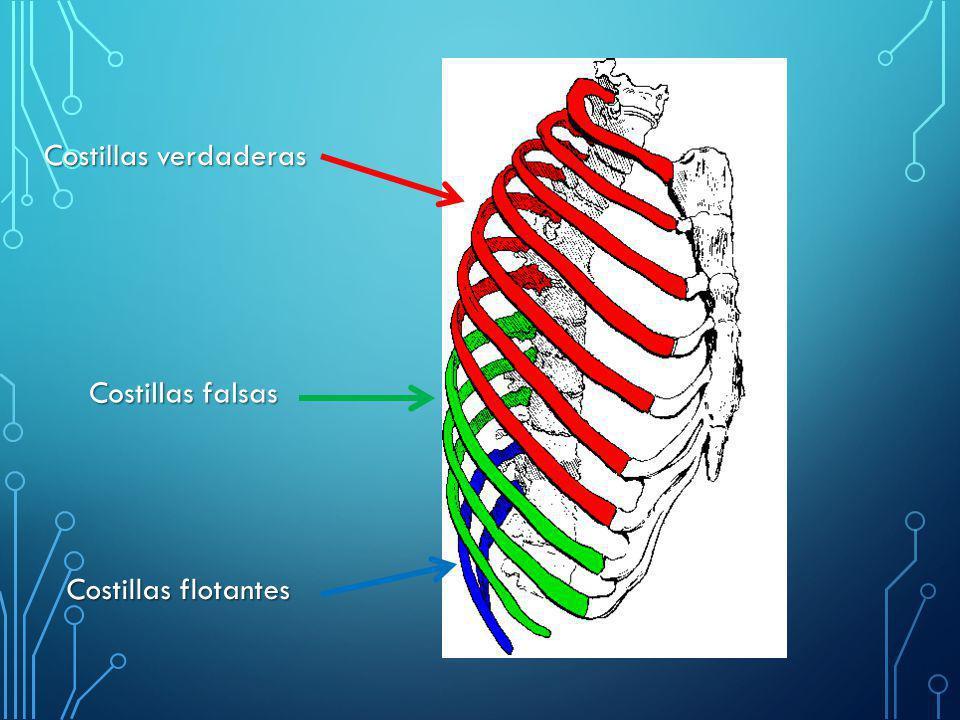 EL TÓRAX El tórax es la parte del cuerpo humano que está entre la ...