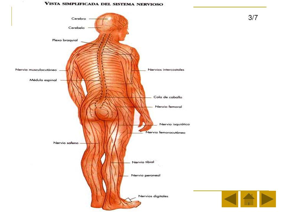 Los Sistemas en el Cuerpo Humano Parte I - ppt video online descargar