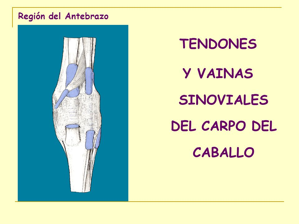 Músculos del antebrazo - ppt video online descargar