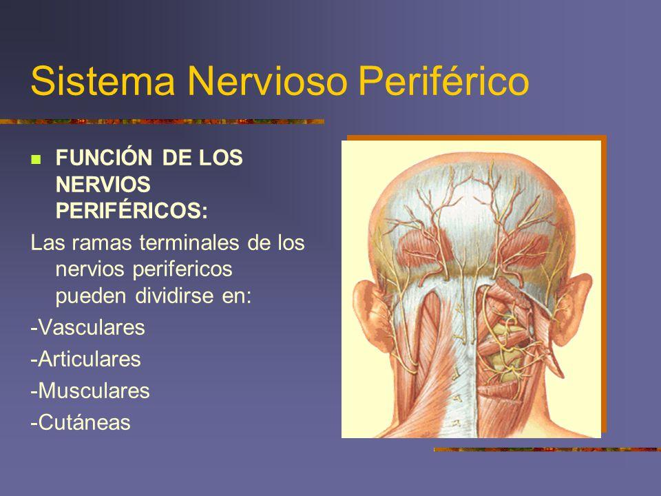Moderno Función De Los Nervios Imagen - Anatomía de Las Imágenesdel ...