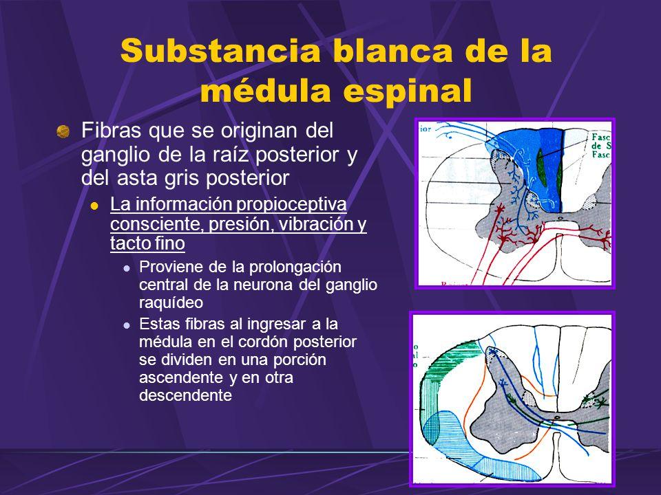 SUSTANCIA BLANCA DE LA MÉDULA ESPINAL - ppt video online descargar