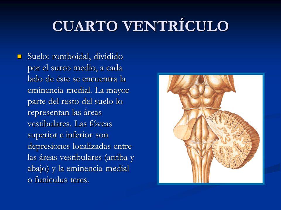 Dorable Anatomía Del Cuarto Ventrículo Ornamento - Imágenes de ...