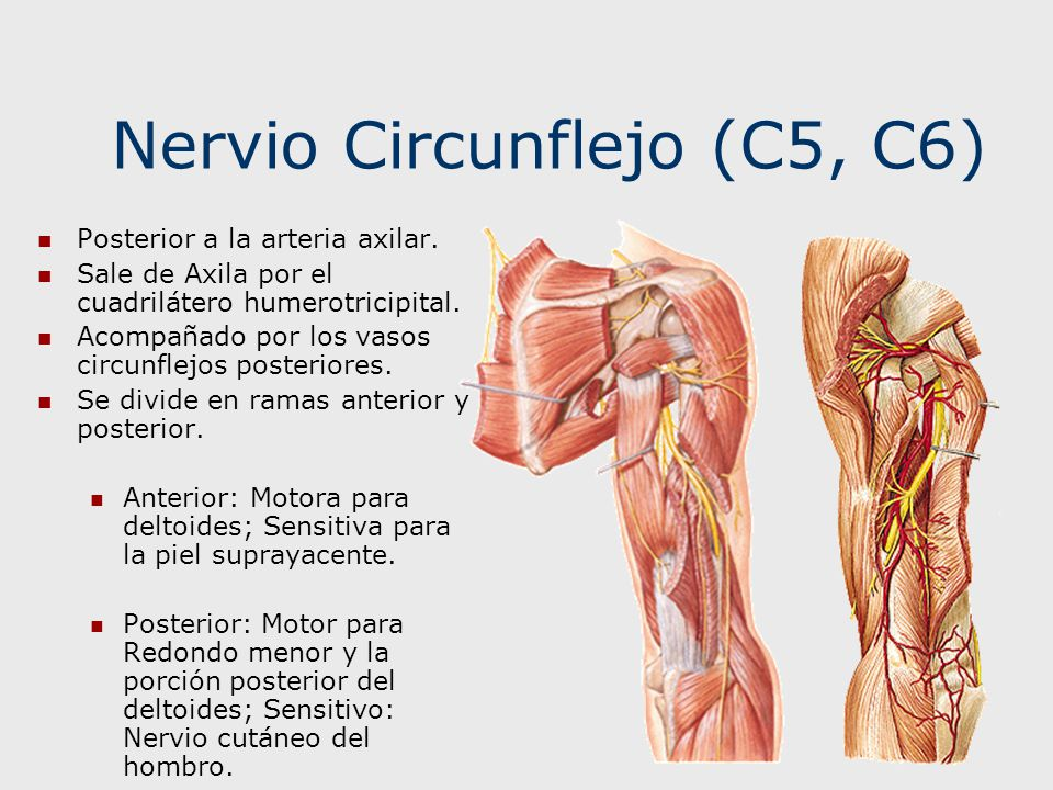 NERVIOS DE LA EXTREMIDAD SUPERIOR - ppt video online descargar