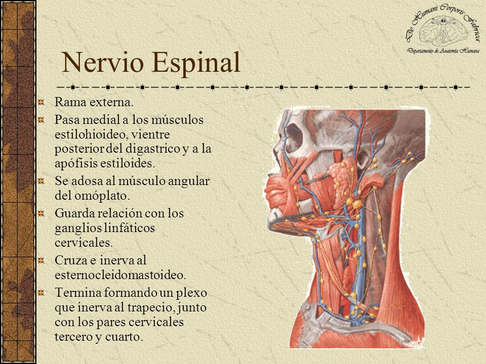 NERVIOS ESPINAL E HIPOGLOSO - ppt video online descargar
