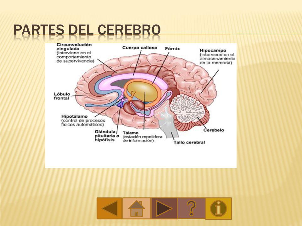 Qué es el cerebro? El cerebro humano, es el motor o computadora ...