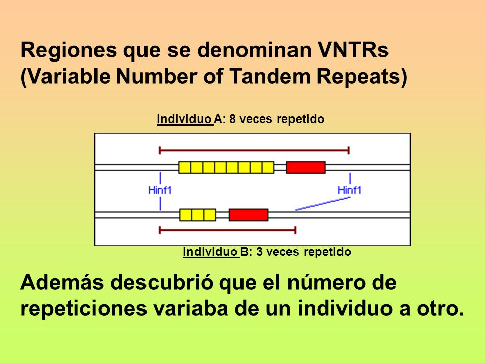 Regiones que se denominan VNTRs (Variable Number of Tandem Repeats)