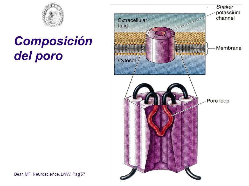 Composición del poro Bear, MF. Neuroscience. LWW. Pag 57