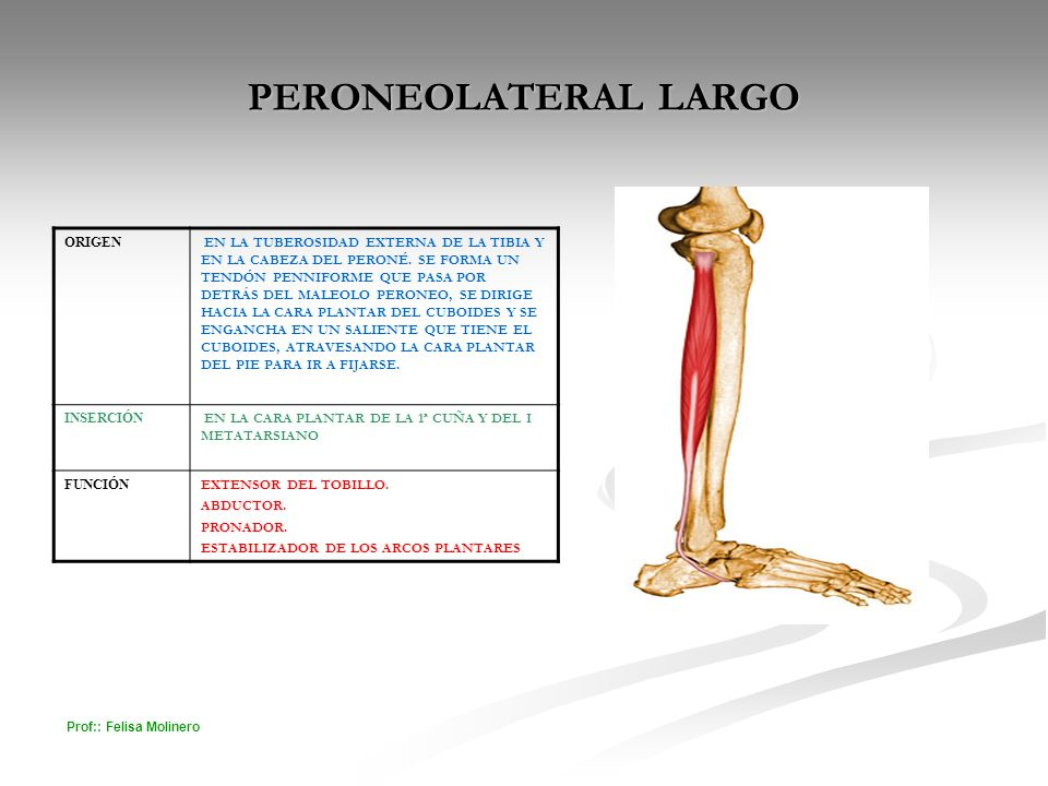 PERONEOLATERAL LARGO ORIGEN
