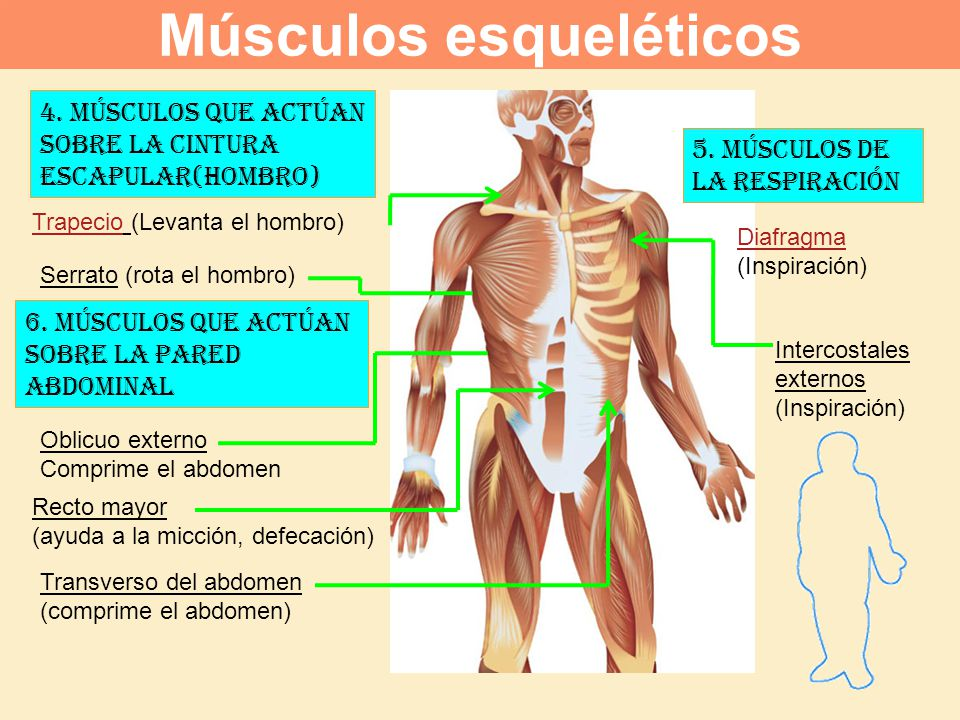 Contemporáneo Los Músculos Del Hombro Del Cuerpo Humano Patrón ...