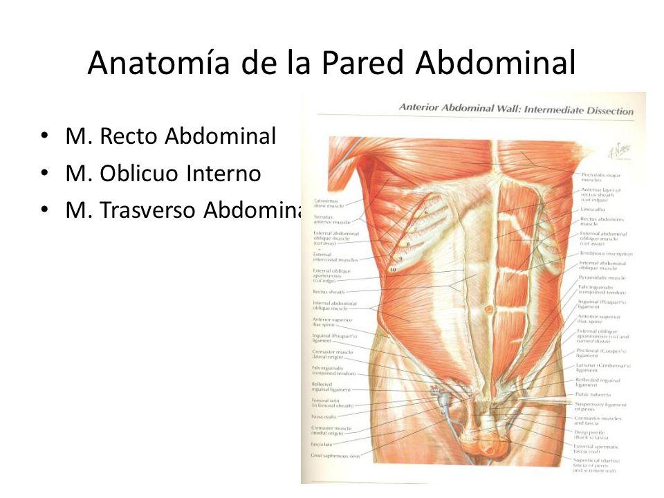 Dorable Anatomía De La Pared Abdominal Anterior Festooning ...