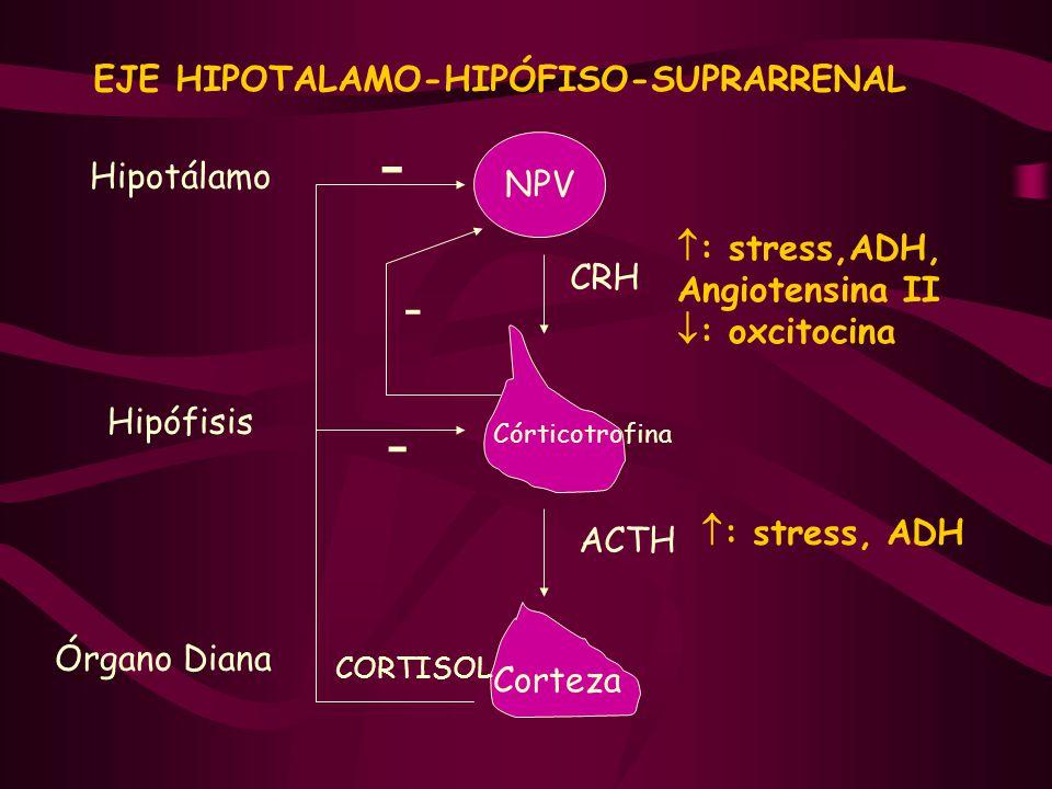 Glándulas Tiroides y glándulas suprarrenales - ppt descargar