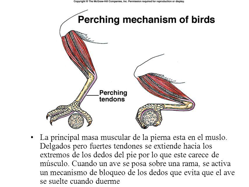 Carácterísticas De Las Aves Ppt Video Online Descargar