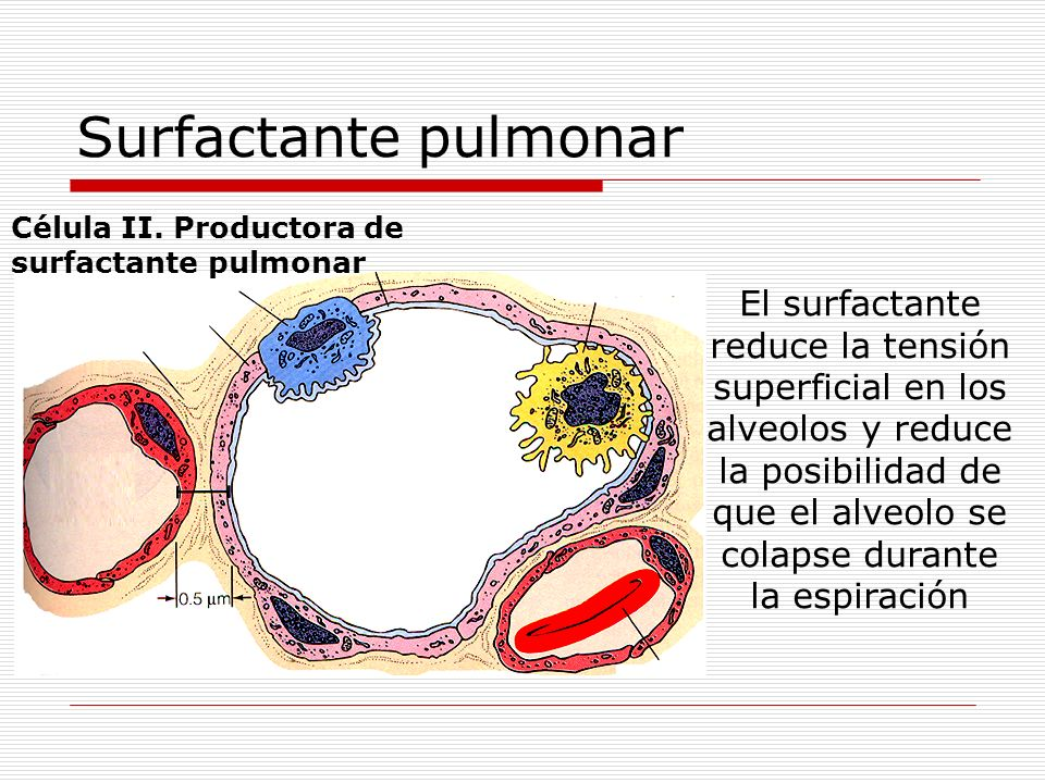 Surfactante pulmonar Célula II. Productora de. surfactante pulmonar.