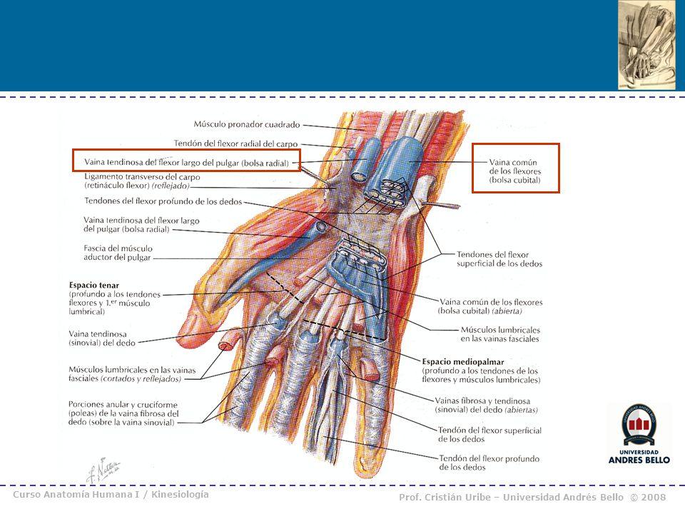 Famoso Ligamentos Pulgar Anatomía Elaboración - Anatomía de Las ...