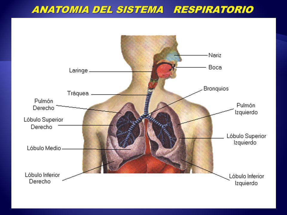 Famoso Anatomía Del Sistema Pulmonar Fotos - Anatomía de Las ...
