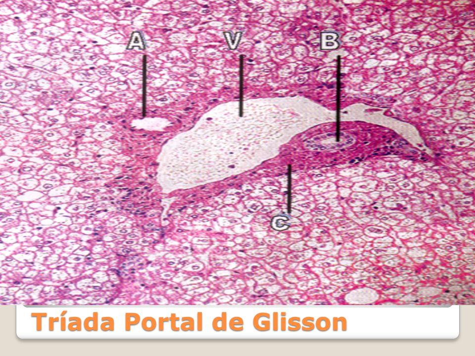 Cátedra de Sistema Digestivo - ppt video online descargar