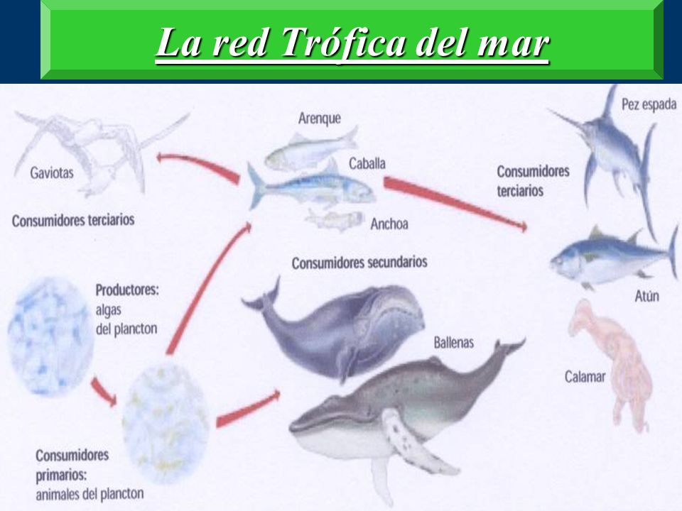 La red Trófica del mar