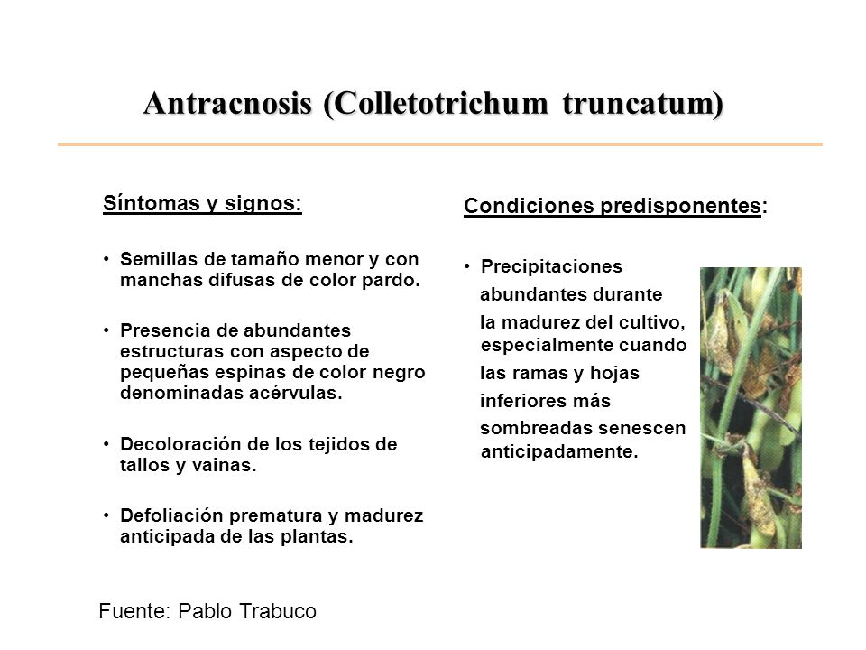 Antracnosis (Colletotrichum truncatum)