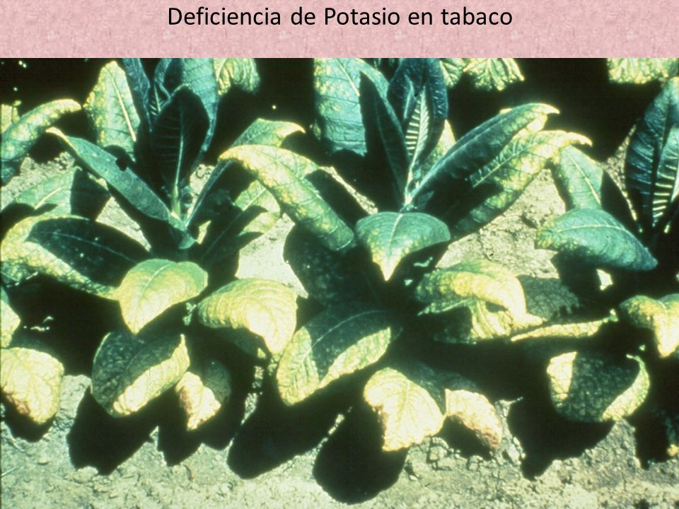 Deficiencia de Potasio en tabaco