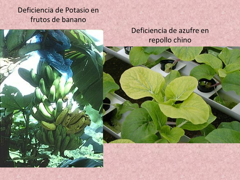 Deficiencia de Potasio en frutos de banano