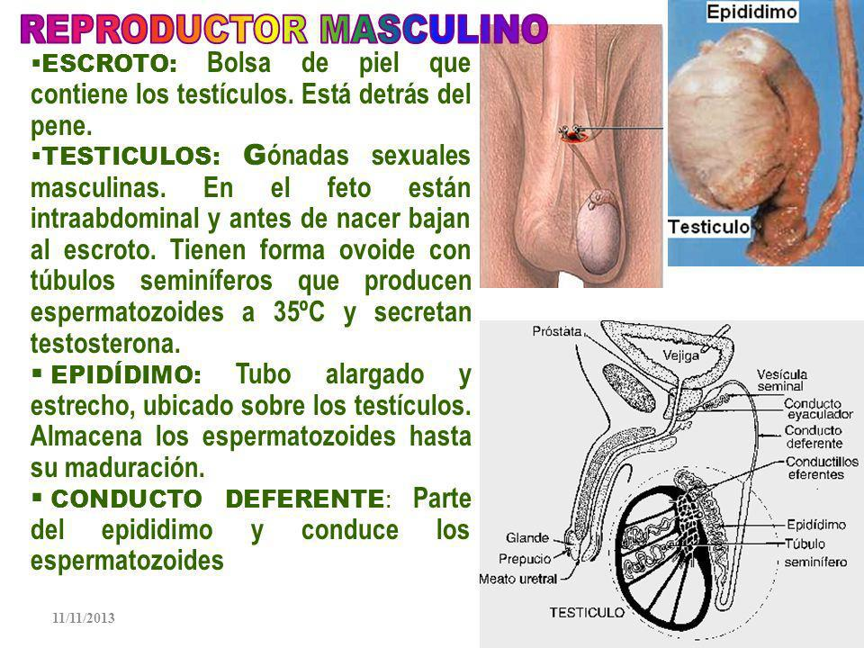 REPRODUCTOR MASCULINO